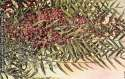 Postcard Branch of Pepper Tree With Berries SKU 1534PC